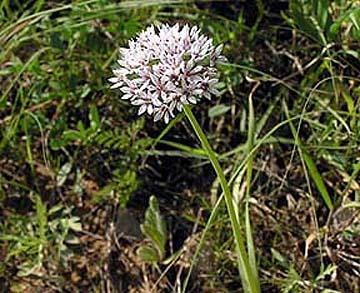 Allium%20panjaoënse.jpg