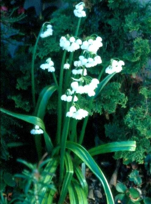 Allium%20paradoxum.jpg