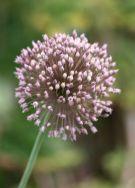 Allium%20pardoi.jpg