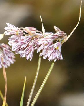 Allium%20parnassicum.jpg
