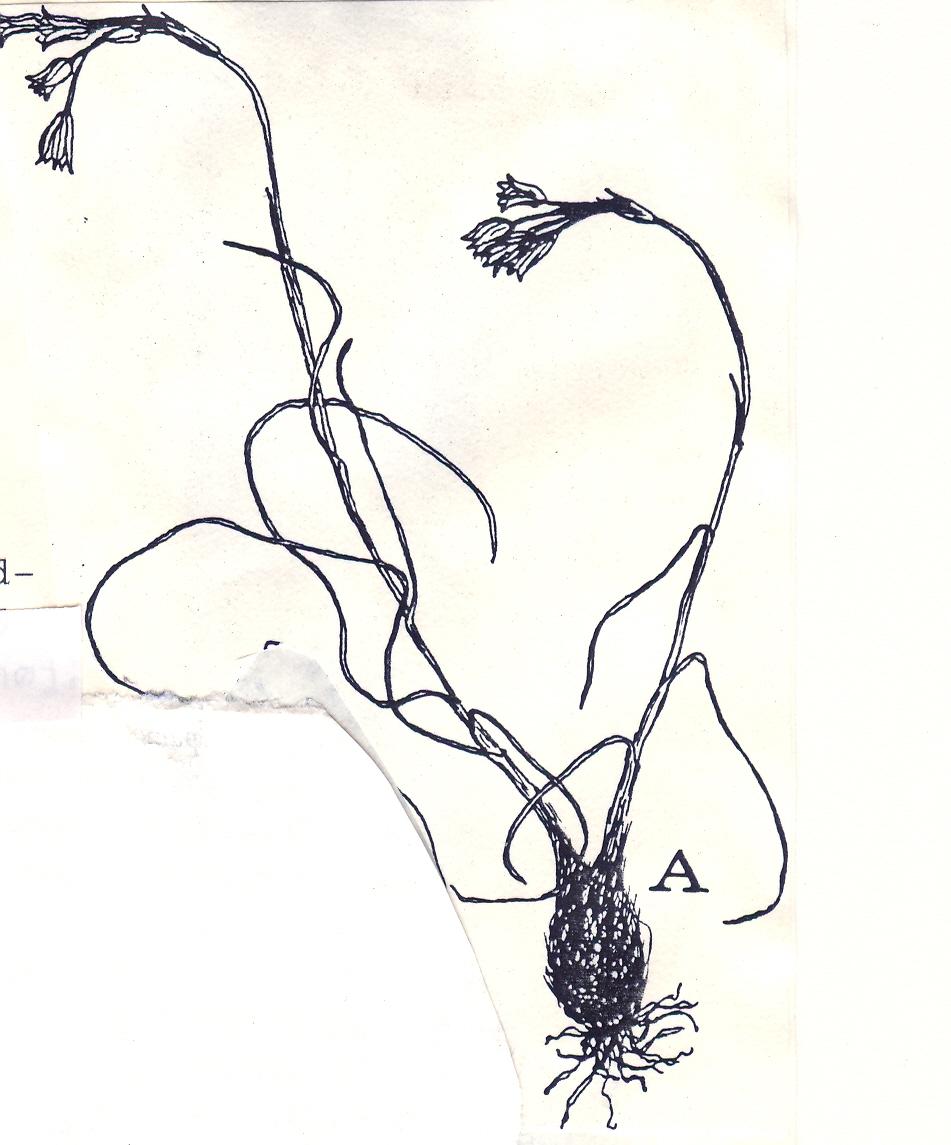 Allium%20pendactyli.jpg