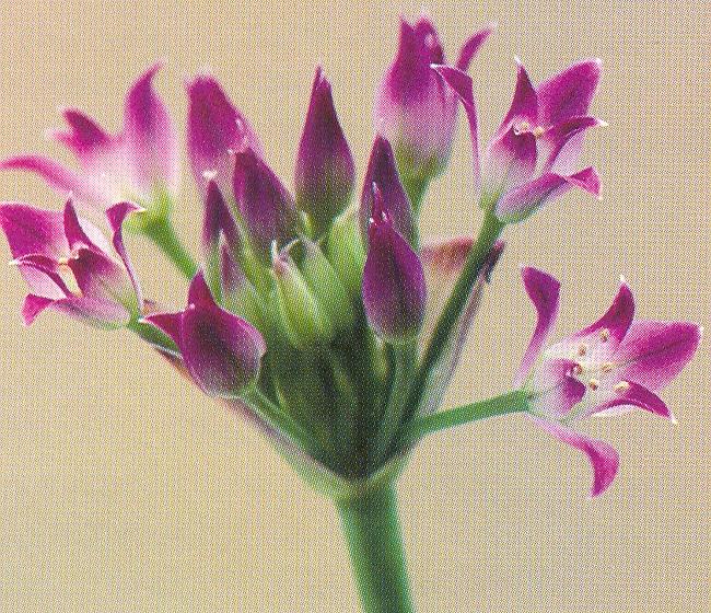 Allium%20peninsulare.jpg