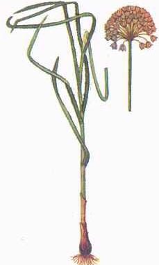 Allium%20pervestitum.jpg