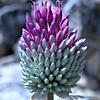 Allium%20phanerantherum.jpg
