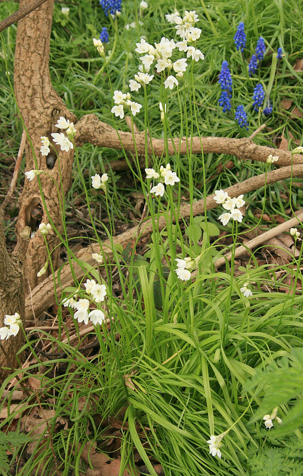Allium%20phthioticum.jpg