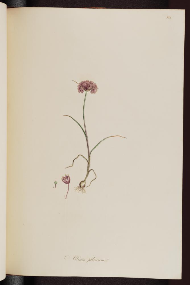 Allium%20pilosum.jpg