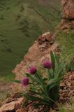 Allium%20platyspathum.jpg