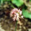 Allium%20plurifoliatum.jpg