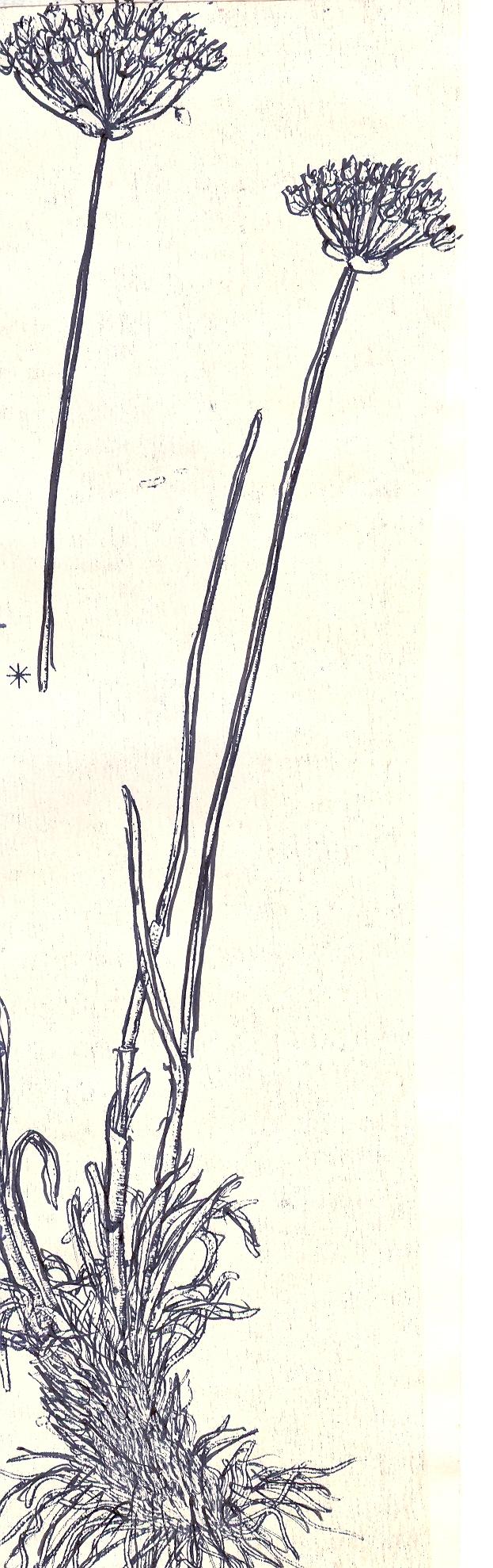 Allium%20pogonotepalum.jpg