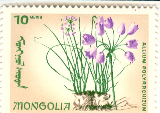 Allium%20polyrrhizumF.jpg