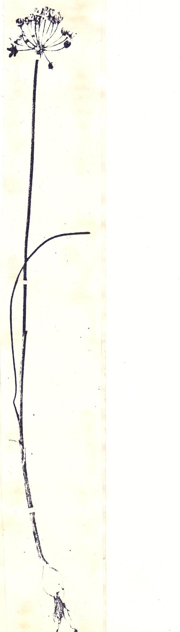 Allium%20popovii.jpg