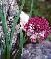Allium%20prattii.jpg