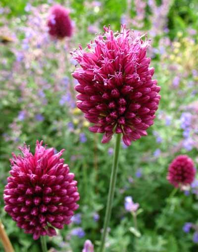 Allium%20proponticum.jpg