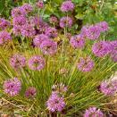 Allium%20przewalskianum.jpg