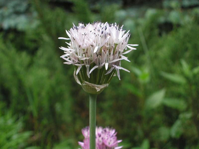 Allium%20pseudoampeloprasum.jpg