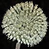 Allium%20pseudocalyptratum.jpg