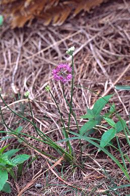 Allium%20pseudojaponicum.jpg