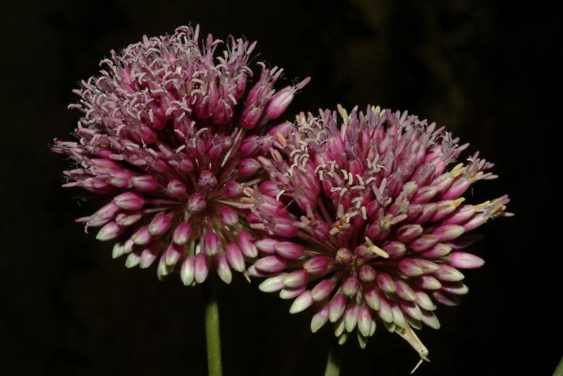 Allium%20pseudophanerantheum.jpg
