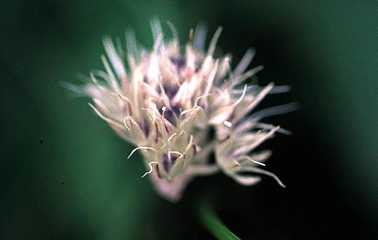 Allium%20pseudostrictum.jpg
