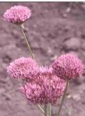 Allium%20pseudowinklerianum.jpg
