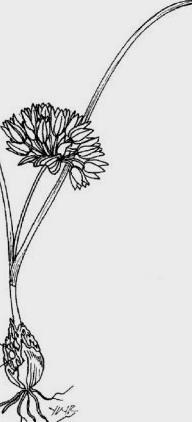 Allium%20punctum.jpg