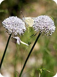 Allium%20pyrenaicum.jpg