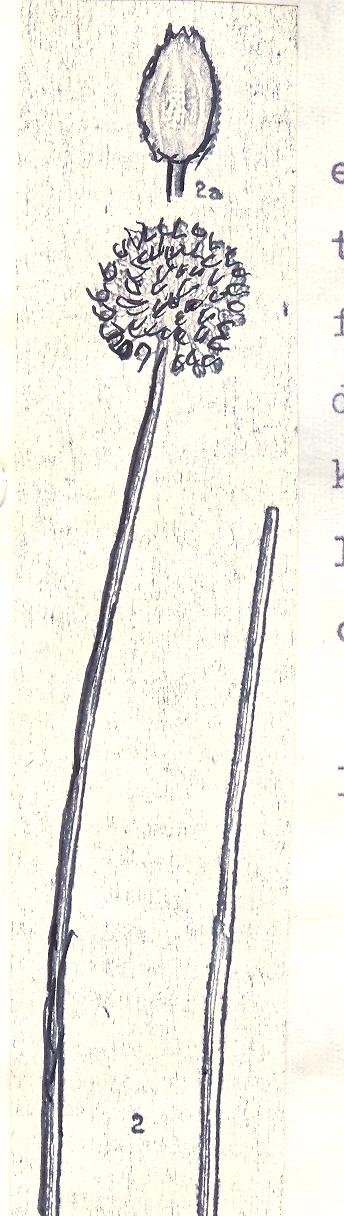Allium%20qaradagense.jpg