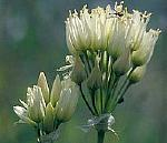 Allium%20qasyunense.jpg