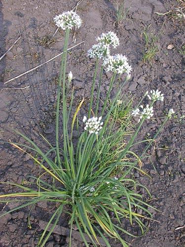 Allium%20ramosum.jpg