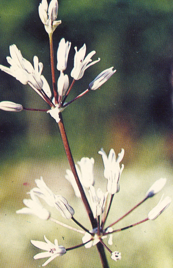 Allium%20regelii.jpg