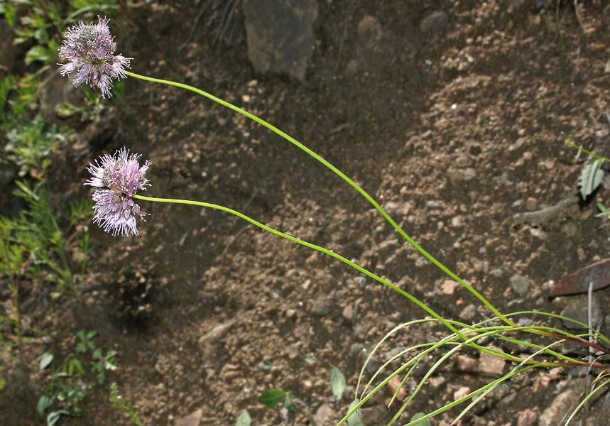 Allium%20registanicum.jpg