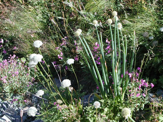 Allium%20rhabdotum.jpg