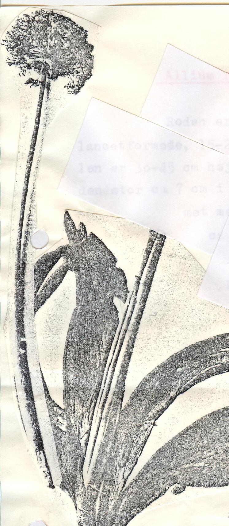Allium%20rhetoreanum2.jpg