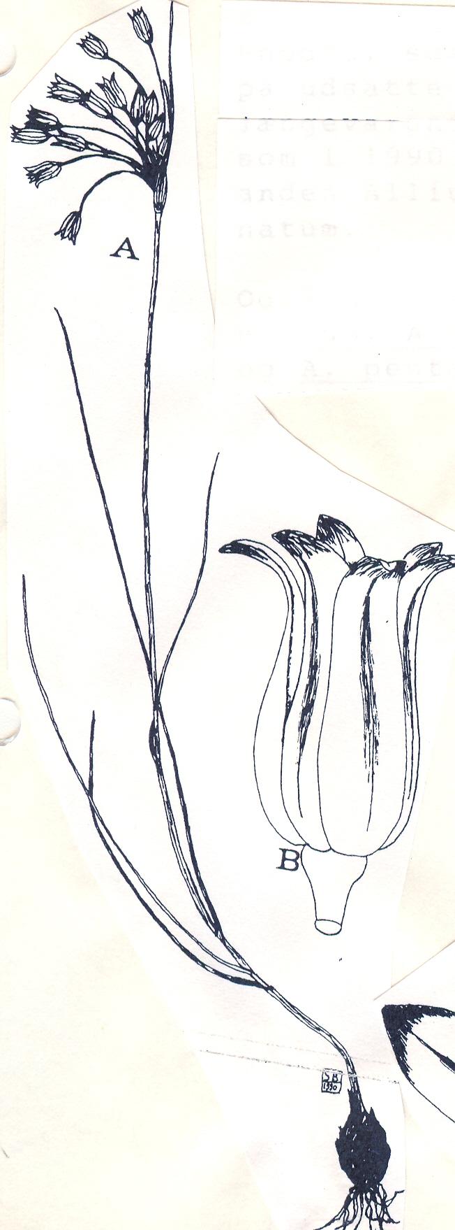 Allium%20rhodiaceum.jpg