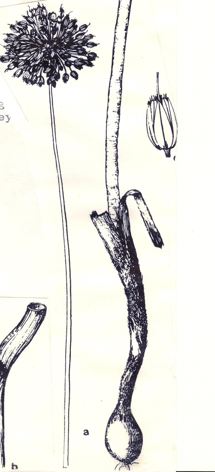 Allium%20robertianum.jpg
