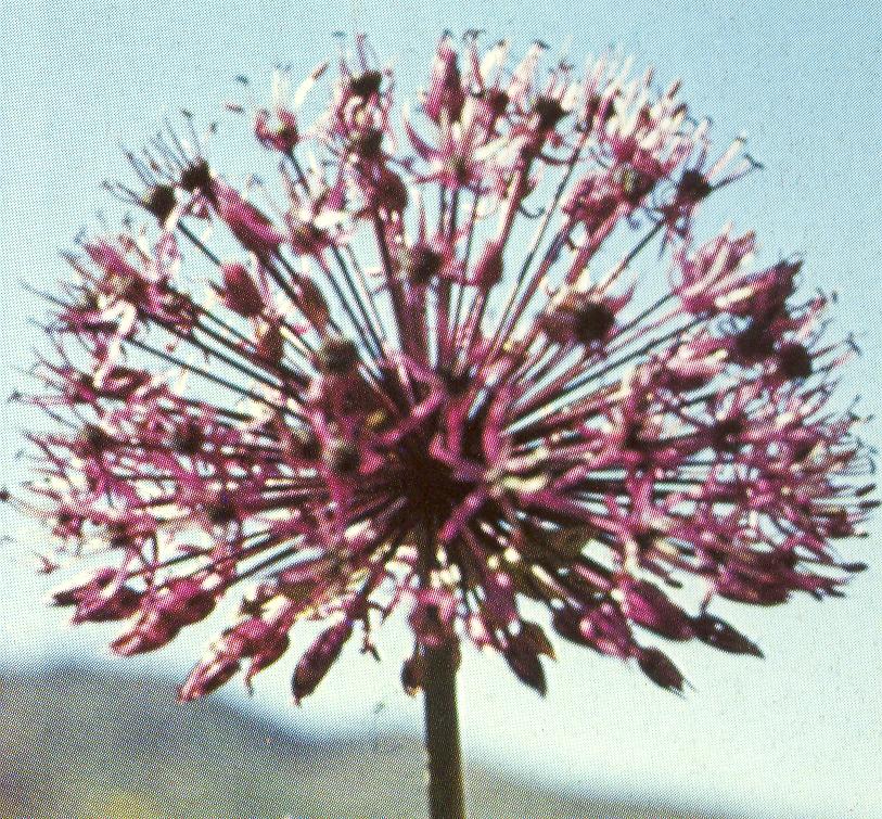 Allium%20rosenbachianum.jpg
