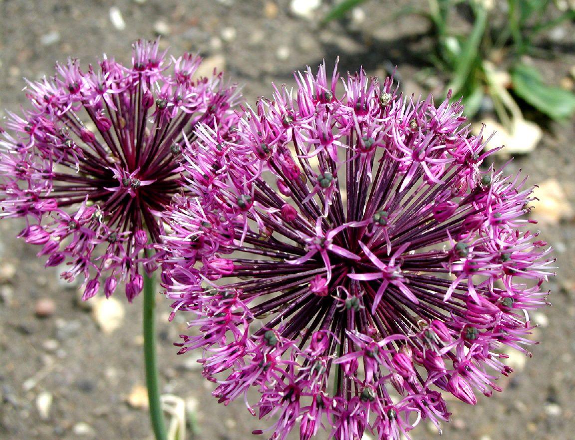 Allium%20rosenorum.jpg