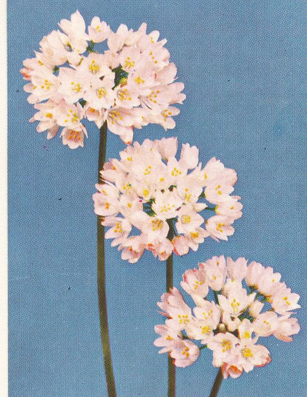 Allium%20roseum.jpg