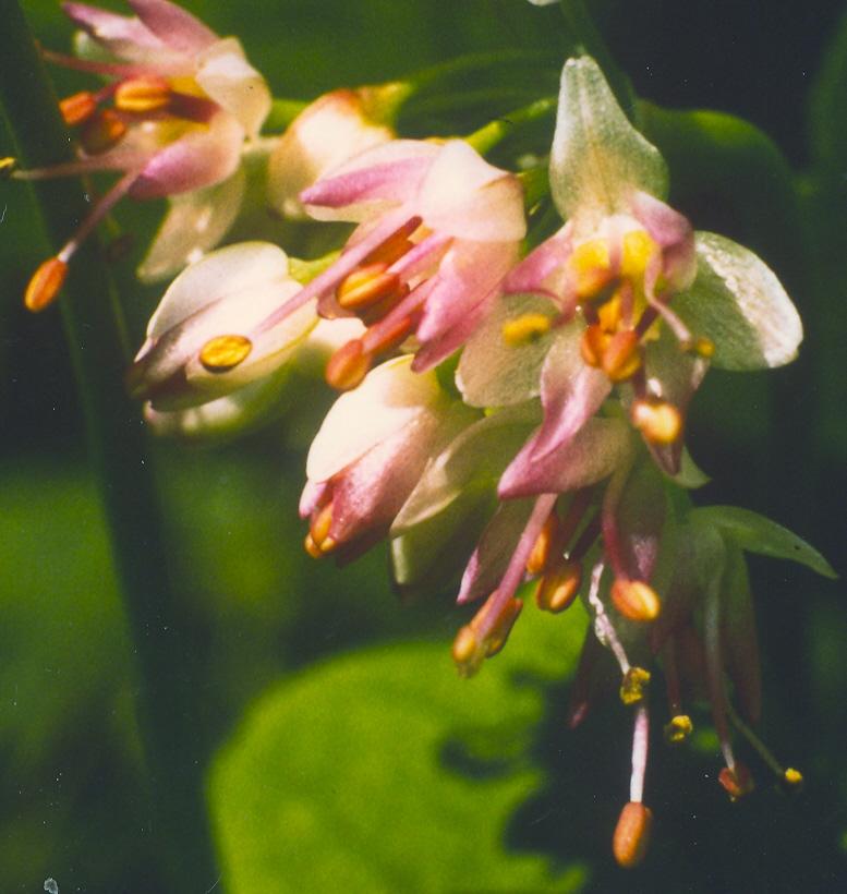 Allium%20roylei.jpg