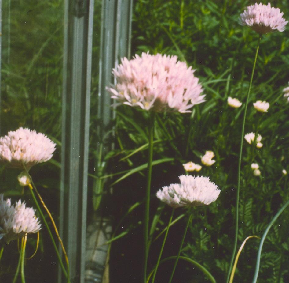 Allium%20rubellum.jpg