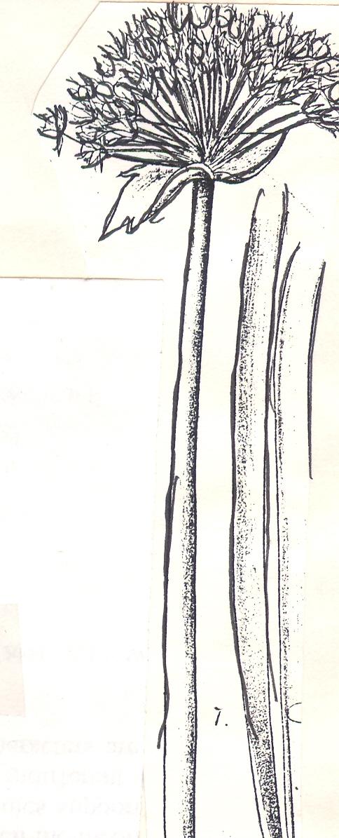 Allium%20rudolfii.jpg
