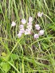 Allium%20ruhmerianum.jpg