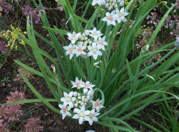 Allium%20runyonii.jpg
