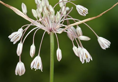 Allium%20rupestre.jpg