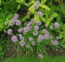 Allium%20rupestristepposum.jpg