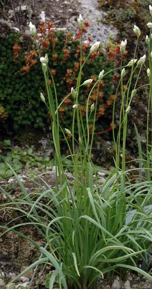 Allium%20sabzakense.jpg