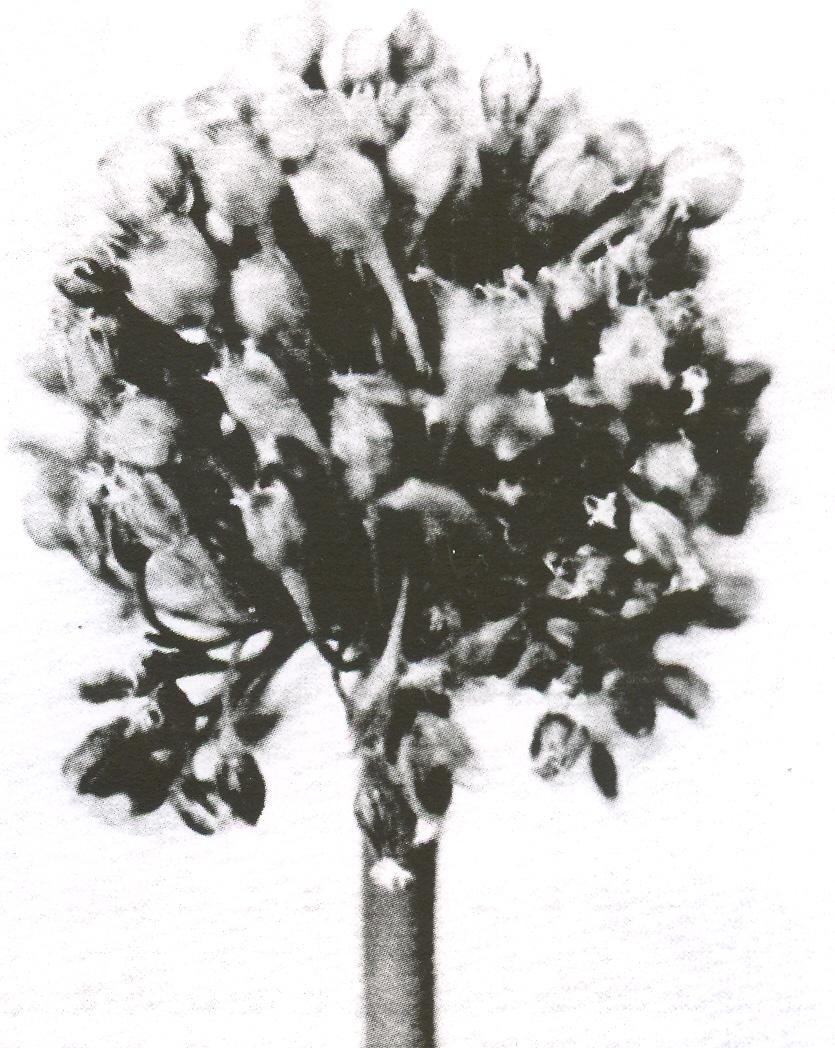 Allium%20salsuginis%20f%20salsuginis.jpg