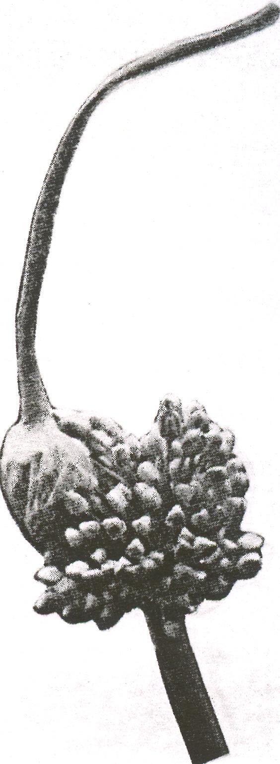 Allium%20salsuginis.jpg