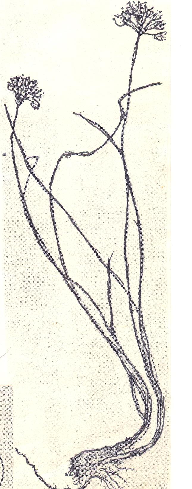 Allium%20salthyricum.jpg