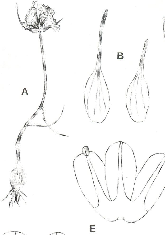 Allium%20samothracicum.jpg